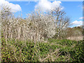 SK8336 : Blackthorn on by the cycle path by Kate Jewell