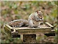 SD5714 : Grey Squirrel by David Dixon