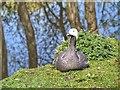 SD4214 : Emperor Goose, Martin Mere Wetland Centre by David Dixon