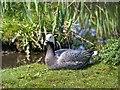 SD4214 : Emperor Goose at Martin Mere WWT Centre by David Dixon