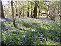 SO9194 : Alder Coppice Bluebells by Gordon Griffiths