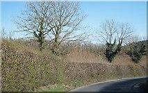 SX7764 : High hedges of Devon by Sandy B