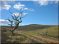 NY5505 : Lone hawthorn at Hause Foot, Crookdale by Karl and Ali