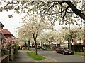 SE3055 : Cherry trees, Harrogate by Derek Harper