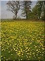 SE2652 : Dandelions, Shaw Green by Derek Harper
