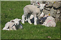 SS1344 : Lundy lambs by Stephen McKay