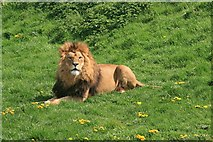 SE6301 : Yorkshire Wildlife Park: Lion Country by Graham Hogg
