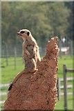 SE6301 : Yorkshire Wildlife Park: Meerkat Manor by Graham Hogg