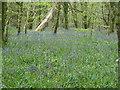 SX0864 : Lanhydrock - bluebells by Chris Allen