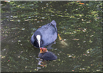 TQ3296 : Coot Family, New River Loop, Enfield by Christine Matthews