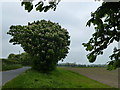 TF6509 : Horse Chestnut tree on Watlington Road by Richard Humphrey