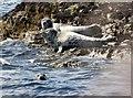 NU2235 : Grey Seals by N Chadwick