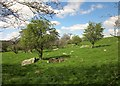 SE2665 : Hawthorns near Haddockstones by Derek Harper
