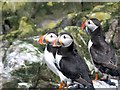 NU2337 : Three Puffins by N Chadwick