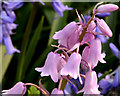 J3773 : Pink bluebells, Comber Greenway, Belfast (April 2014) by Albert Bridge