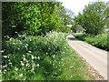 TG3726 : Cow parsley growing beside rural lane by Evelyn Simak