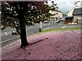 H4572 : Cherry blossom petals, Omagh Library grounds by Kenneth  Allen