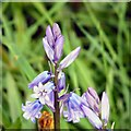 SJ9494 : Bluebells (close-up) by Gerald England
