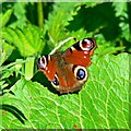 SU1093 : Peacock butterfly on a leaf, Cycle Route 45, Cricklade by Brian Robert Marshall
