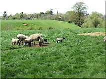 SK8129 : Sheep and lambs in a field near Branston by Oliver Bell