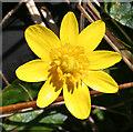 NM4788 : Lesser Celandine (Ranunculus ficaria) by Anne Burgess