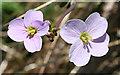 NM4788 : Cuckoo Flower (Cardamine pratensis) by Anne Burgess