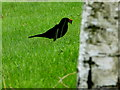H4572 : Blackbird with worms, Omagh by Kenneth  Allen