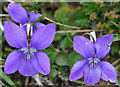 NM4784 : Common Dog Violet (Viola riviniana) by Anne Burgess