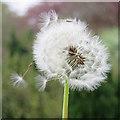 SE7872 : Seeding dandelion by Pauline E