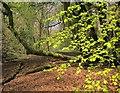 SX6961 : Beech leaves, Penstave Copse by Derek Harper