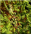 SX7272 : Ferns, Grey Park Wood by Derek Harper