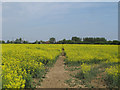 TL8044 : Footpath through oilseed rape, Pentlow by Roger Jones