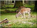 SJ7487 : Fallow Deer Grazing at Dunham Massey by David Dixon