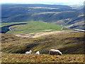 SN8087 : Sweet lambs above Sweet Lamb by John Lucas