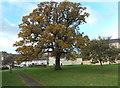 SO8514 : Oak in late autumn, Matson, Gloucester by Jaggery