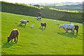 SS8422 : North Devon : Grassy Field & Cattle by Lewis Clarke