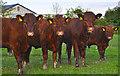 SS8422 : North Devon : Cattle Grazing by Lewis Clarke