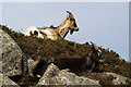 NX5564 : Feral goats, Clints of Dromore by David Baird