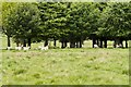 SJ7581 : Tatton Deer Park - fallow Deer Grazing at the Northern End of the Park by David Dixon