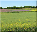TM2886 : Colourful crops by Holbrook Hill by Evelyn Simak