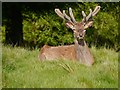 SJ7579 : Male Red Deer at Tatton Park by David Dixon