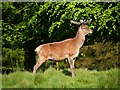 SJ7579 : Male Deer at Tatton by David Dixon