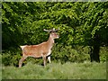 SJ7579 : Tatton Deer Park, Red Buck by David Dixon