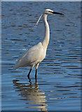 SX2553 : Little Egret wading in Looe Harbour, Cornwall by Edmund Shaw