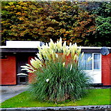 L9984 : County Mayo - Westport - New Road - Hotel Westport Grounds - Pampas Grass  by Suzanne Mischyshyn
