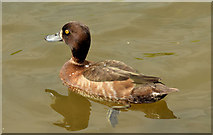 J4774 : Tufted duck, Kiltonga, Newtownards - May 2014(2) by Albert Bridge