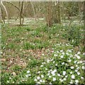 SP0563 : Windflowers in Rough Hill Wood, south of Redditch by Robin Stott