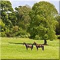 SP5241 : Horses, Thenford Arboretum by David P Howard