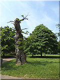 TQ2780 : An almost dead tree in Hyde Park by Stephen Craven