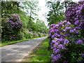 TF6727 : Rhododendrons between Wolferton and Sandringham by Richard Humphrey